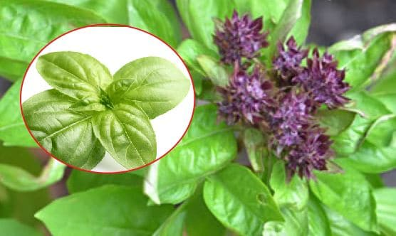 Basil plant will keep away biting insects away from home
