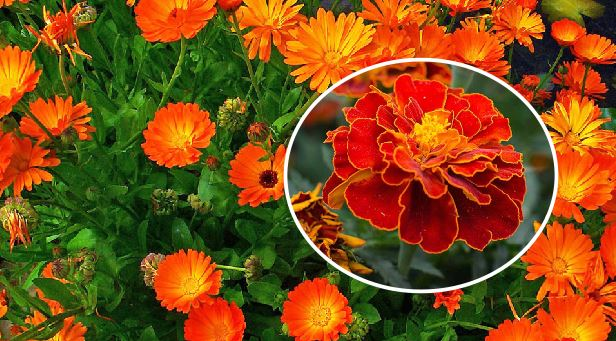 Common Marigold plant will keep biting insects away