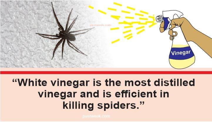 Does Vinegar Kill Spiders?