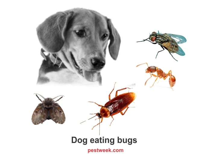Do dogs eat bugs?