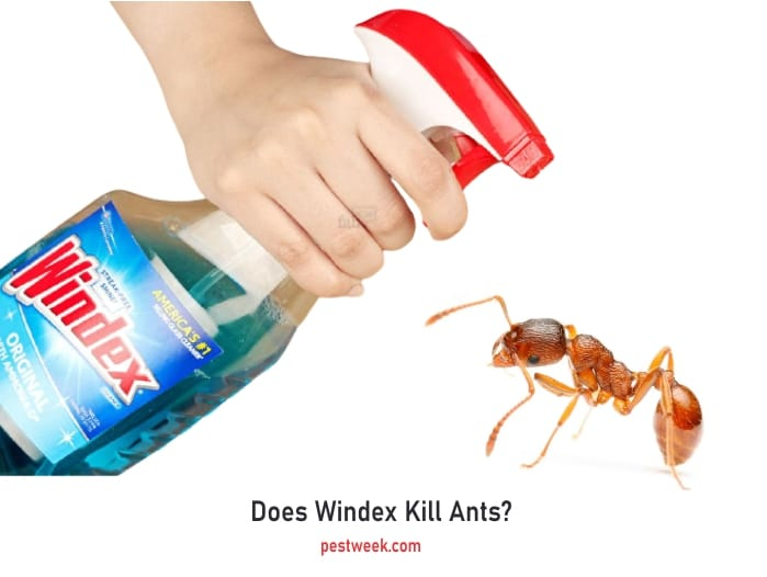 How to kill and repel ants using Windex