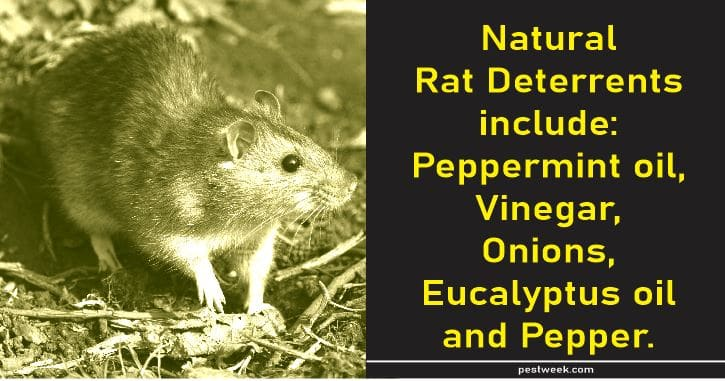 Natural Rat Deterrents & How To Use Them