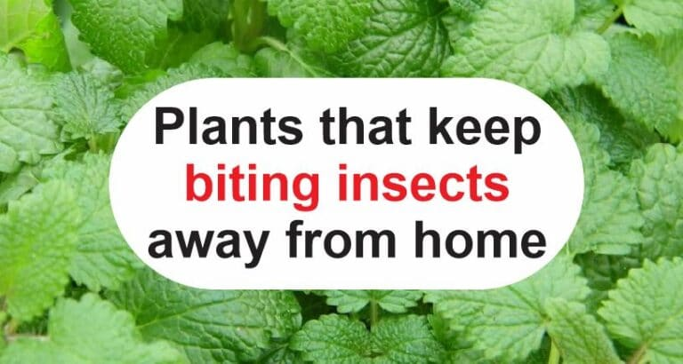 Plants that keep biting insects away from home