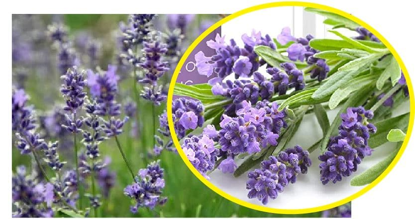 Use lavender to kill bed bugs at home