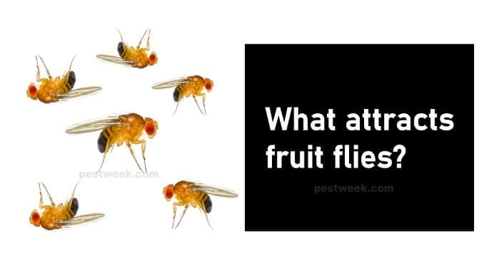 What attracts fruit flies