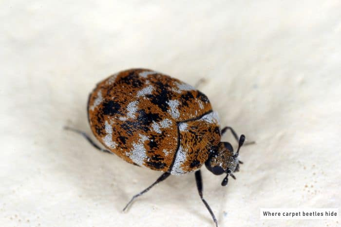 Where carpet Beetles Hide