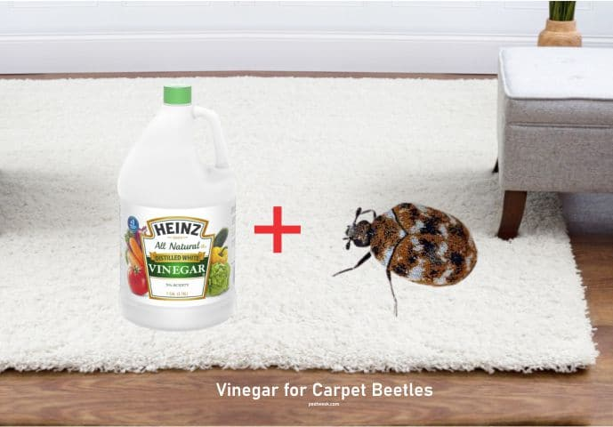Vinegar for carpet beetles