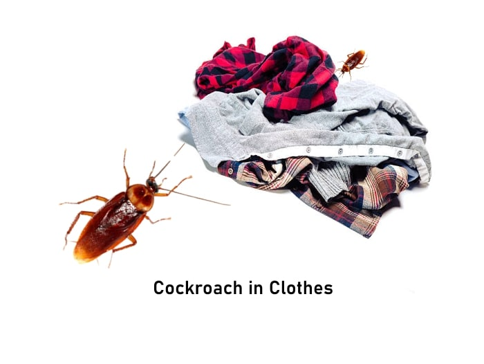 Do cockroaches hide in clothes?