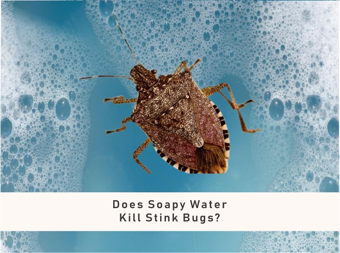 soapy water for stink bugs