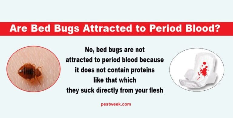 Does Period Blood Attract Bed Bugs