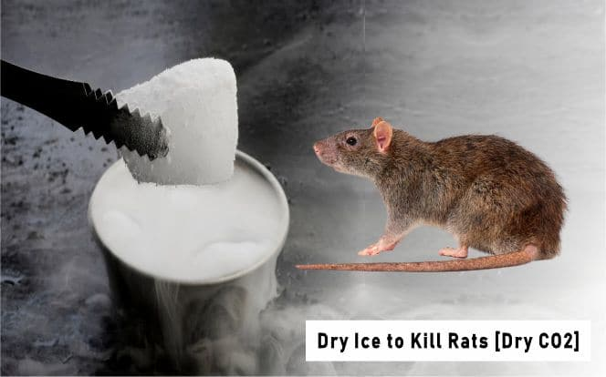 Dry Ice to Kill Rats [Killing Rats with Carbon Dioxide]