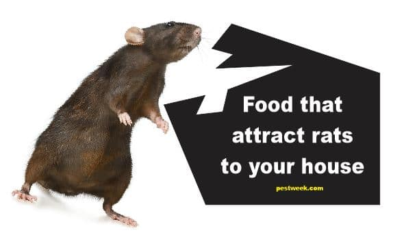 What Do Rats Eat in Your House