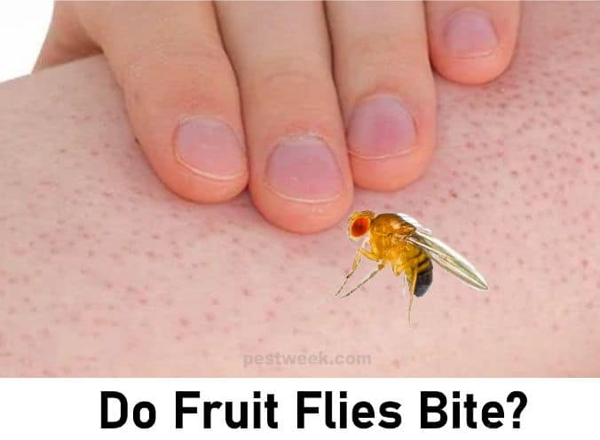Do Fruit Flies Bite, Insects That Look Like Fruit Fly But Bites