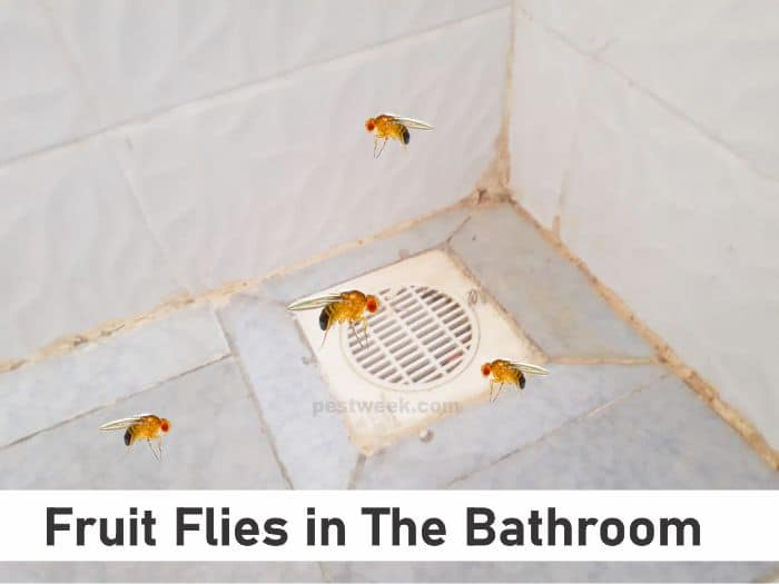 Fruit Flies in Bathroom Causes and Solutions