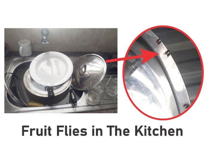 Fruit Flies in Kitchen