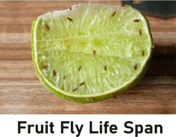 Fruit Fly Life Span, How Long Do Fruit Flies Live Without Food
