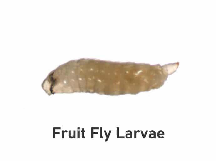 Fruit fly larvae