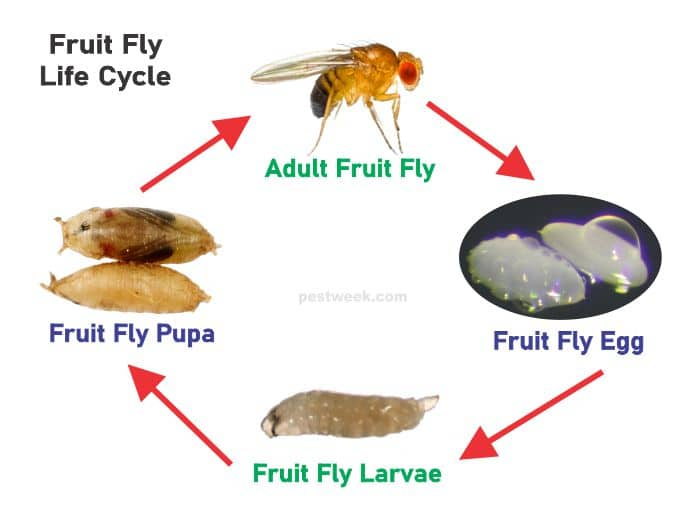 Fruit fly life cycle with pictures