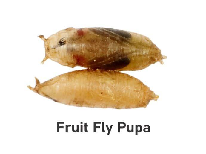 Fruit fly pupa