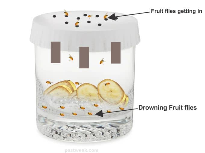 Fruit flies in a homemade fruit fly trap