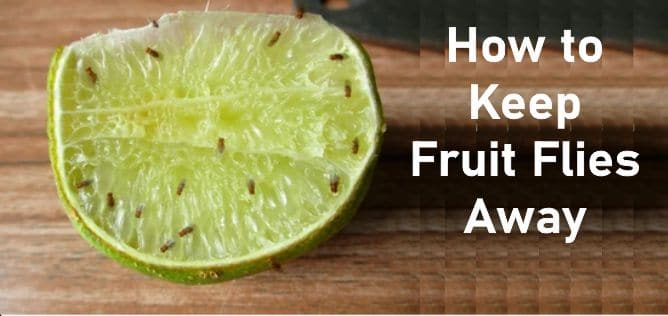 How to Keep Fruit Flies Away From The House