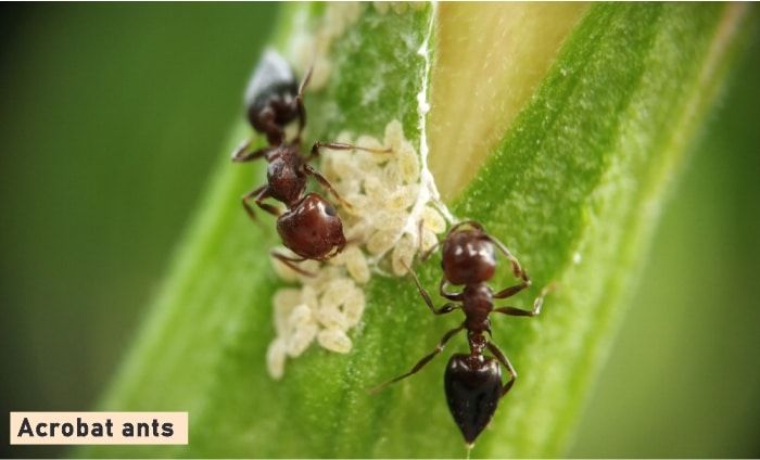 Acrobat Ant Facts + How to Get Rid of Them