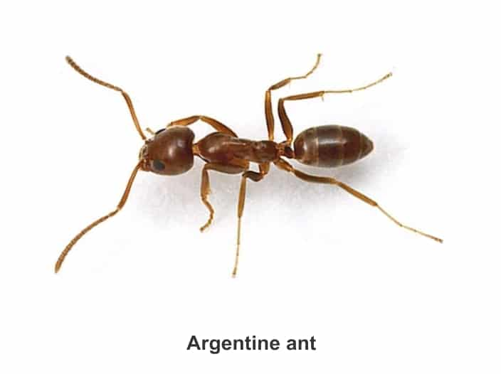 Argentine Ants Facts Identification + Supercolony