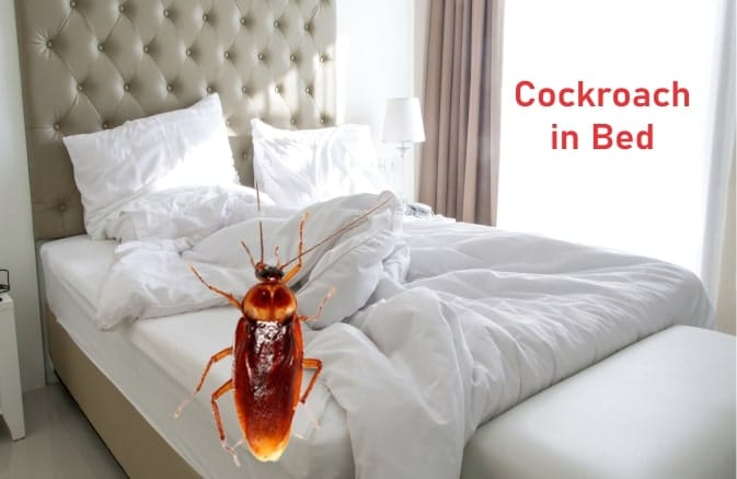 Cockroach in Bed and Mattress