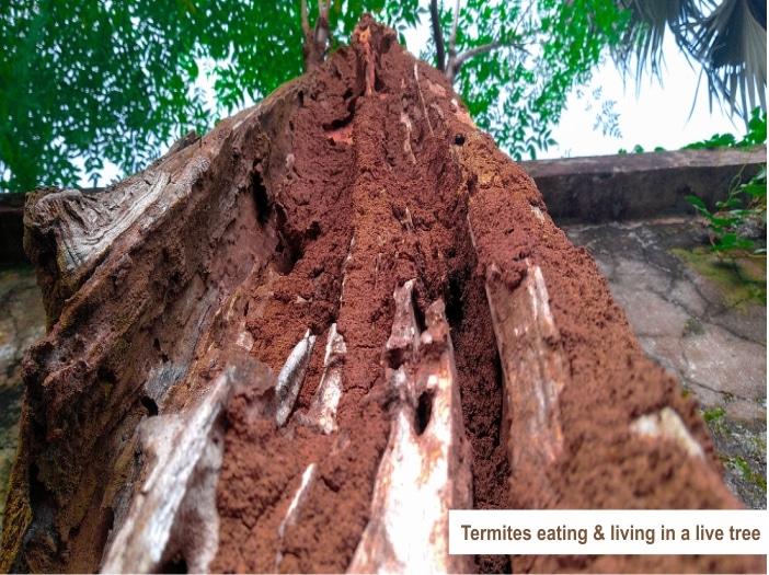 Do Termites Eat Live Trees?