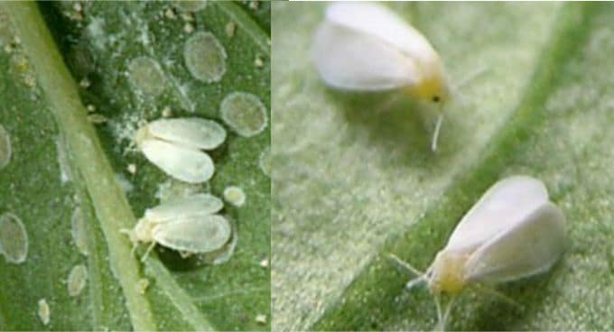 Ficus whitefly