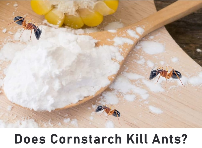 How to get rid of ants with cornstarch