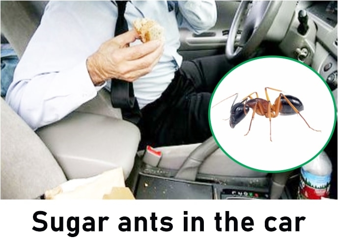 How to get rid of sugar ants in car