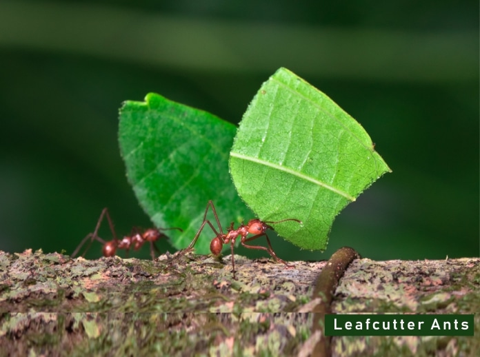 Leafcutter Ant Facts Diet + Where They Live