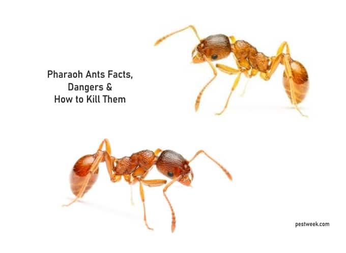 Pharaoh Ants Facts, Dangers + How to Kill Them