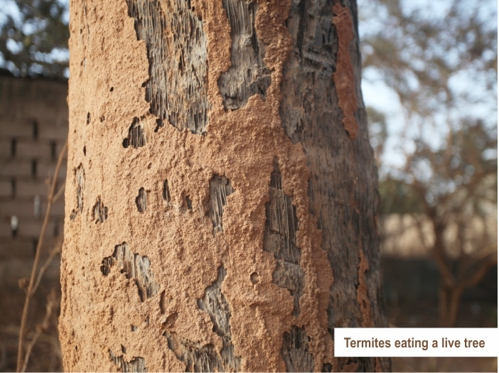 Signs of termites eating a live tree