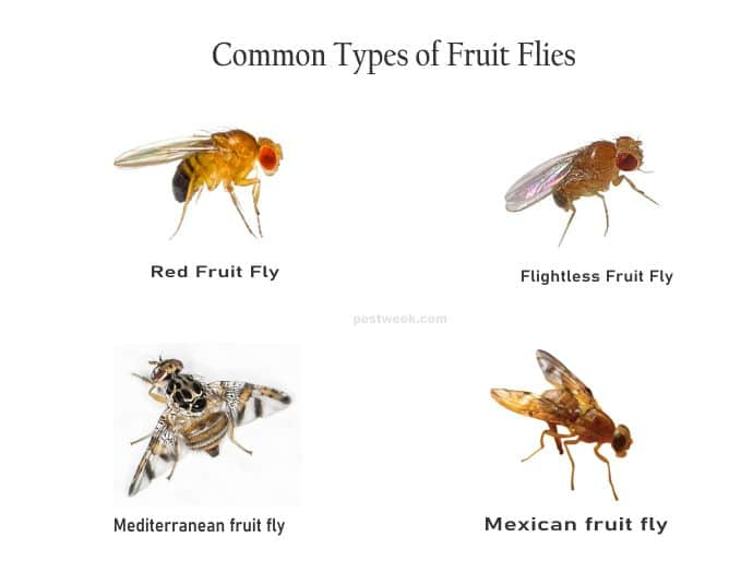 Types of Fruit Flies