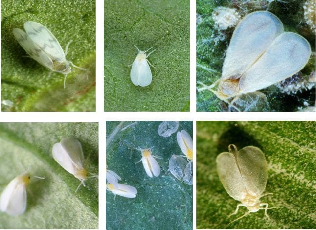 Types of Whiteflies and How they Look Like [Pictures]