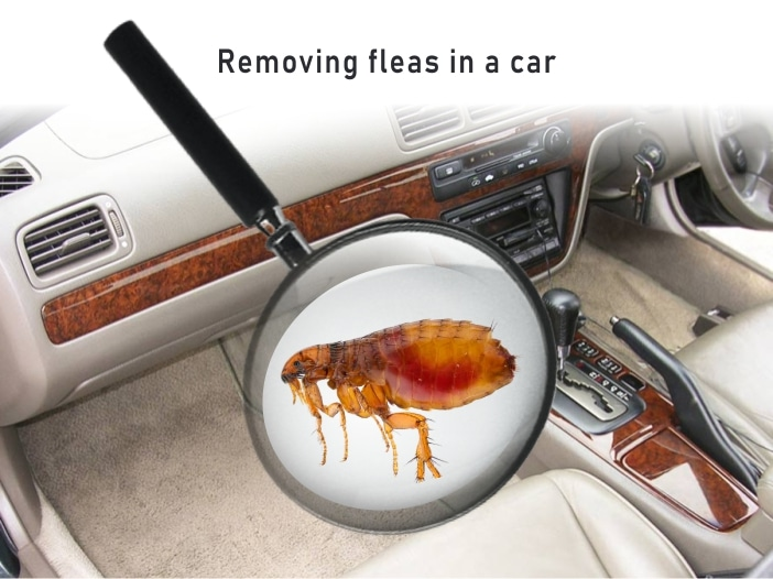 Fleas in car and how to Kill them