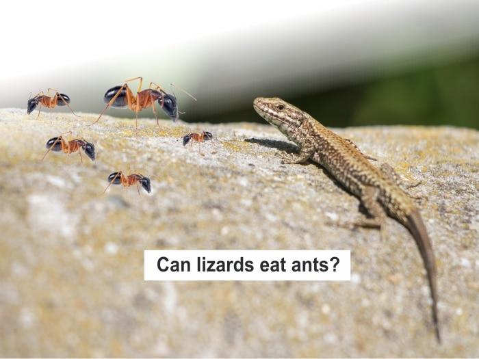 Do Lizards Eat Ants?