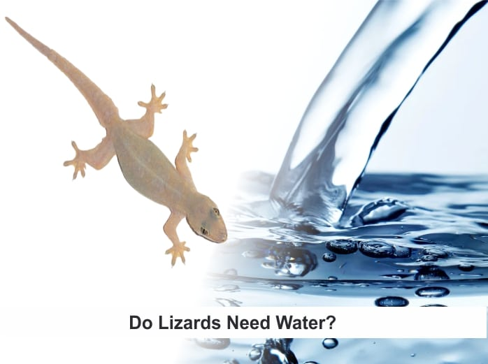 Do Lizards Need Water? [Lizards and Water Facts]