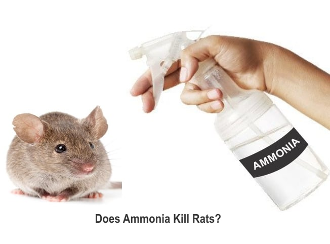 How to repel and kill rats with ammonia