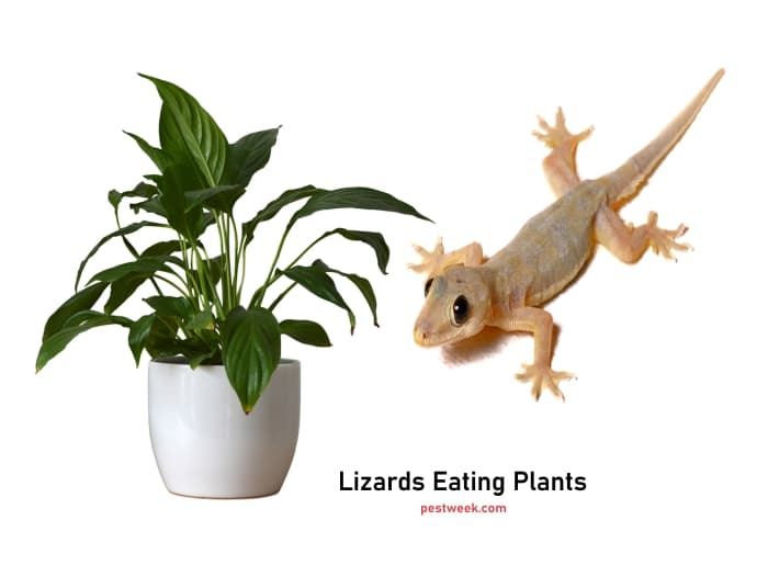 How to Stop Lizards from Eating Plants
