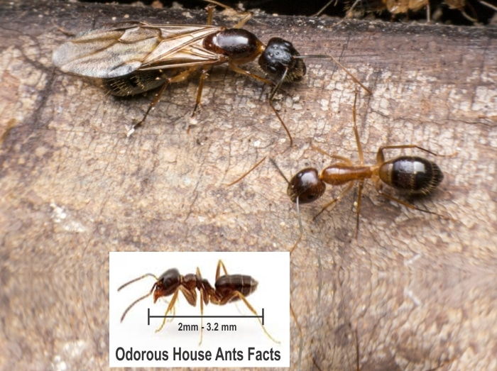 Odorous House Ants Facts and How to Get Rid of Them