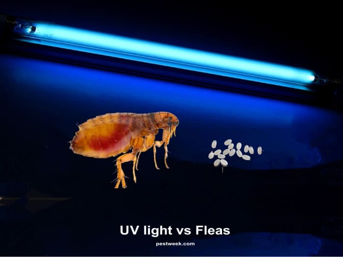 Does UV Light Kill Fleas?