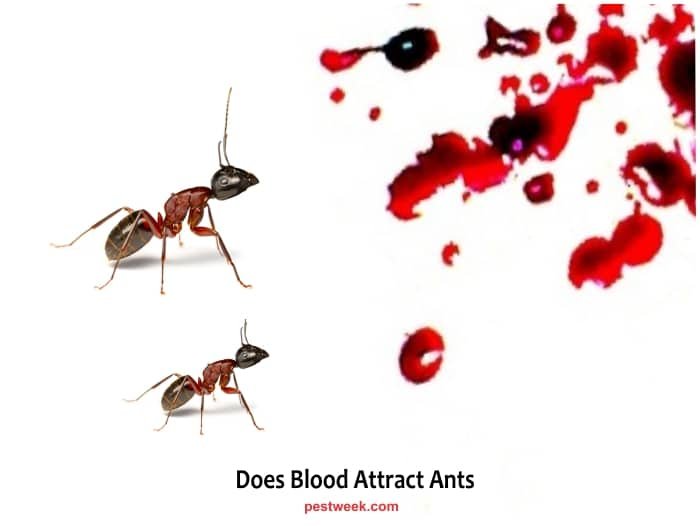 Are Ants Attracted to Blood