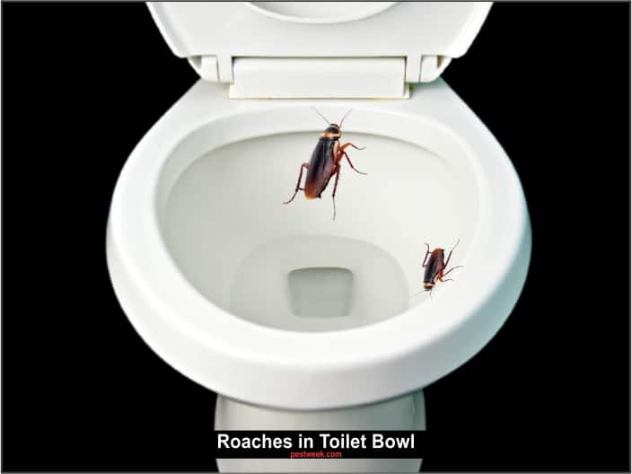 Cockroach in Toilet Bowl