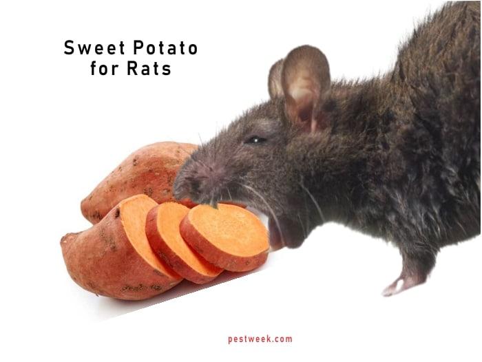 Does Sweet Potato Kill Rats