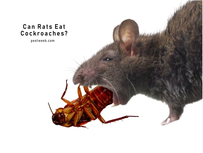 Do Rats Eat Cockroaches?