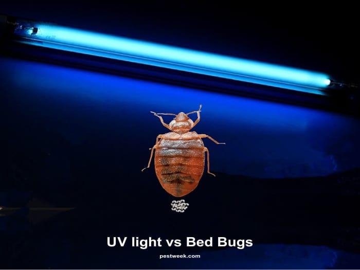 Bed Bugs Under UV Light
