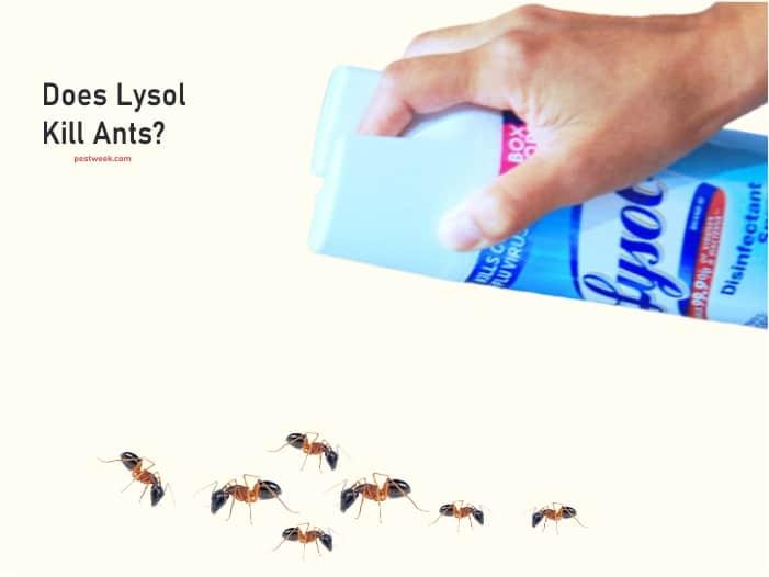 Does Lysol Kill Ants?